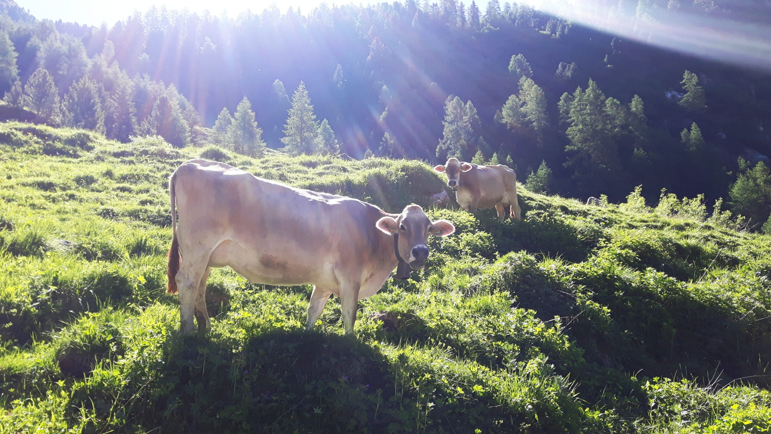 Krowa Milka